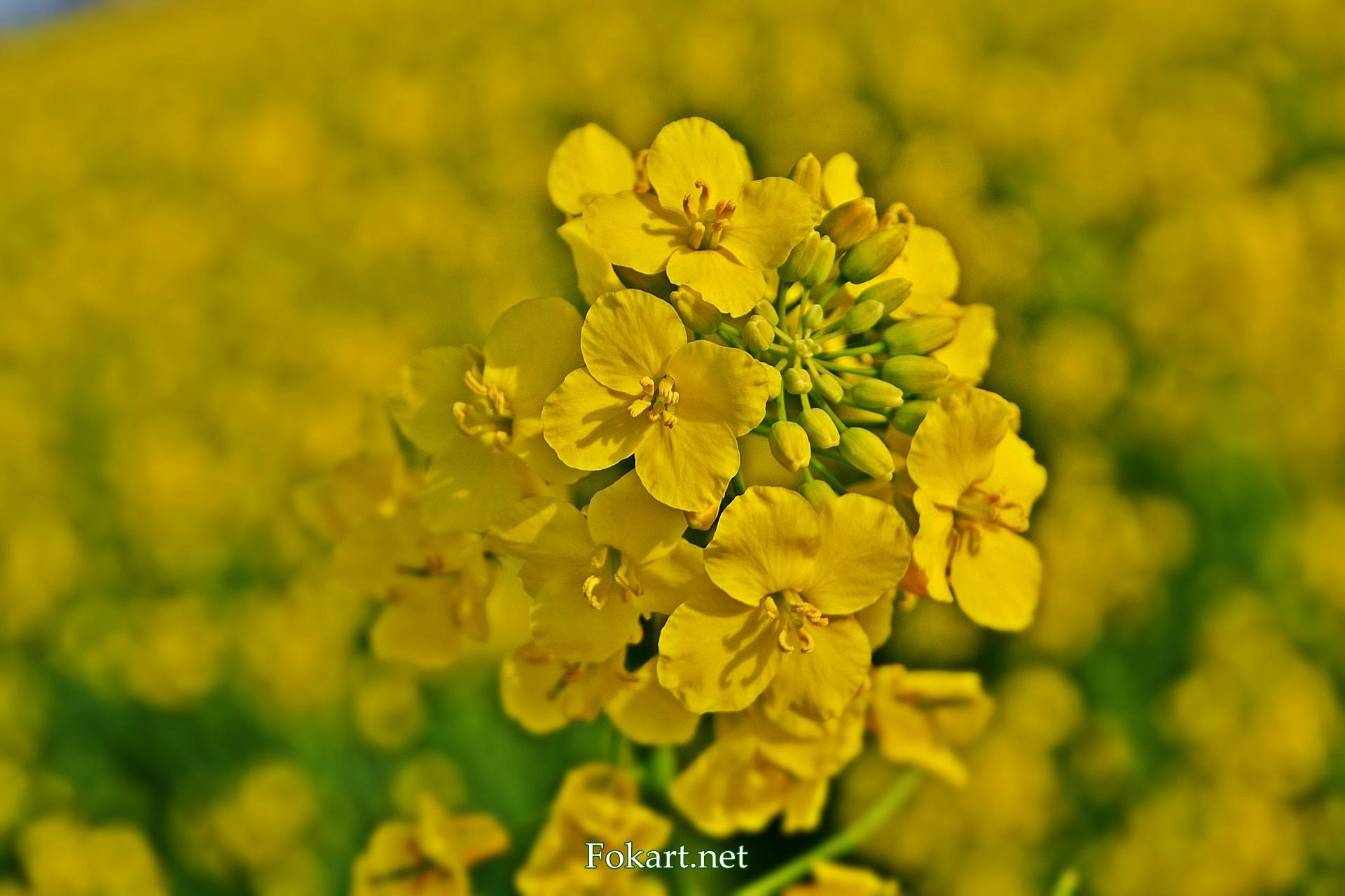Соцветие рапса вблизи