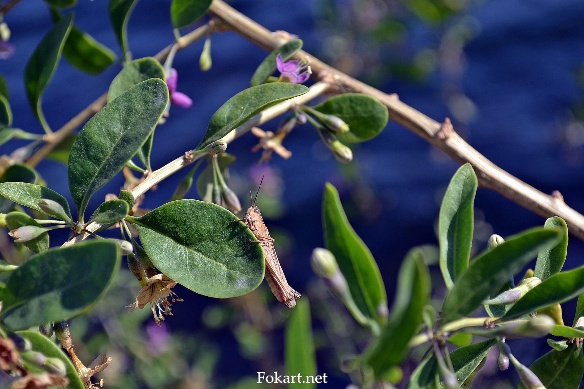 Кузнечик на ветке цветущей дерезы