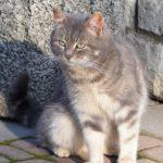Симпатичная серая кошка вблизи