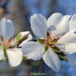 Цветки миндаля крупным планом