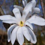 Белый цветок магнолии крупным планом