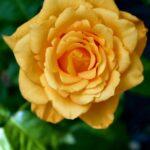Жёлтая розочка с волнистыми лепестками