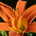 Оранжевый цветок азиатского рыжего красоднева