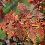 Яркие листья кёльрейтерии метельчатой