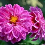 Dahlia Labella Medio Fun Violet flame, цветки вблизи