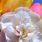 Махровый цветок нарцисса вблизи