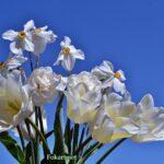 Букет нарциссов с белыми тюльпанами
