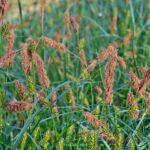 Цветущая Осока заострённая (Carex acutiformis)