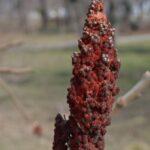 Плод сумаха оленерогого в конце февраля