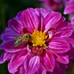 Пчела на георгине
