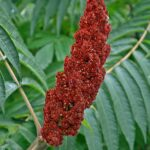 Соцветие сумаха оленерогого , или уксусного дерева, в июле