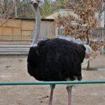 Самец африканского страуса в вольере
