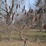 Уксусное дерево с необычными красными плодами в феврале