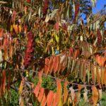 Осенние листья и плоды сумаха оленерогого в ноябре