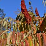 Осенние листья сумаха оленерогого