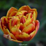 Тюльпан махровый поздний, красный с жёлтым