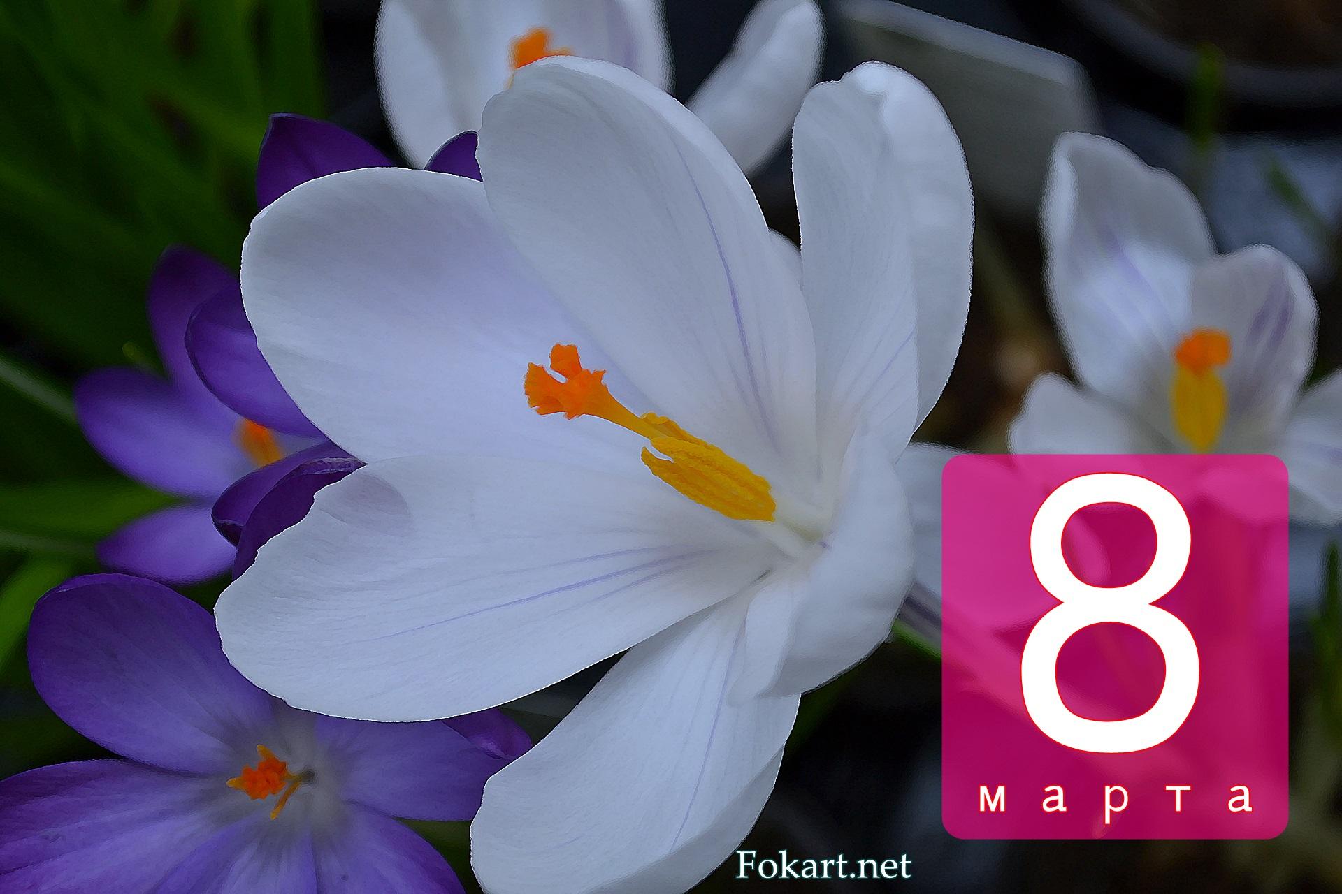Белые и сиреневые крокусы, открытка 8 марта