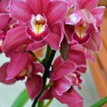 Орхидея цимбидиум, малиновые цветки