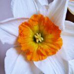 белый нарцисс с ярко-оранжевой коронкой