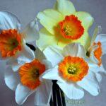 Пять нарциссов с ярко-оранжевыми коронками