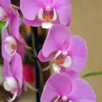Розовые цветки фаленопсиса