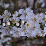 Цветущая веточка сливы в апреле