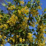 Ветки цветущей смородины золотистой ( Ribes aureum)