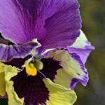 Фиолетово-жёлтый цветок виолы вблизи