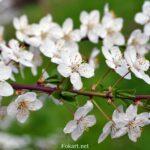 Белоснежные цветочки сливы