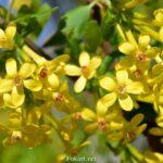 Жёлтые цветочки смородины золотистой вблизи