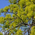 Цветущие ветки клёна остролистного