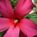 Цветок гибискуса травянистого