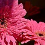 Две розовых герберы