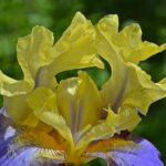 Жёлто-сиреневый ирис, фото-картина
