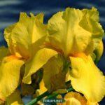 Жёлтые ирисы вблизи