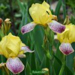 Желтые ирисы с полосатыми нижними лепестками