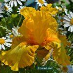 Жёлтый ирис в ромашках