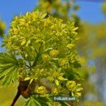 Зеленовато-жёлтые цветки клёна остролистного