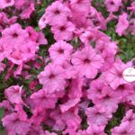 Розовые петунии под майским дождём