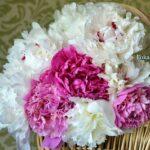 Белые и розовые пионы в небольшой корзинке