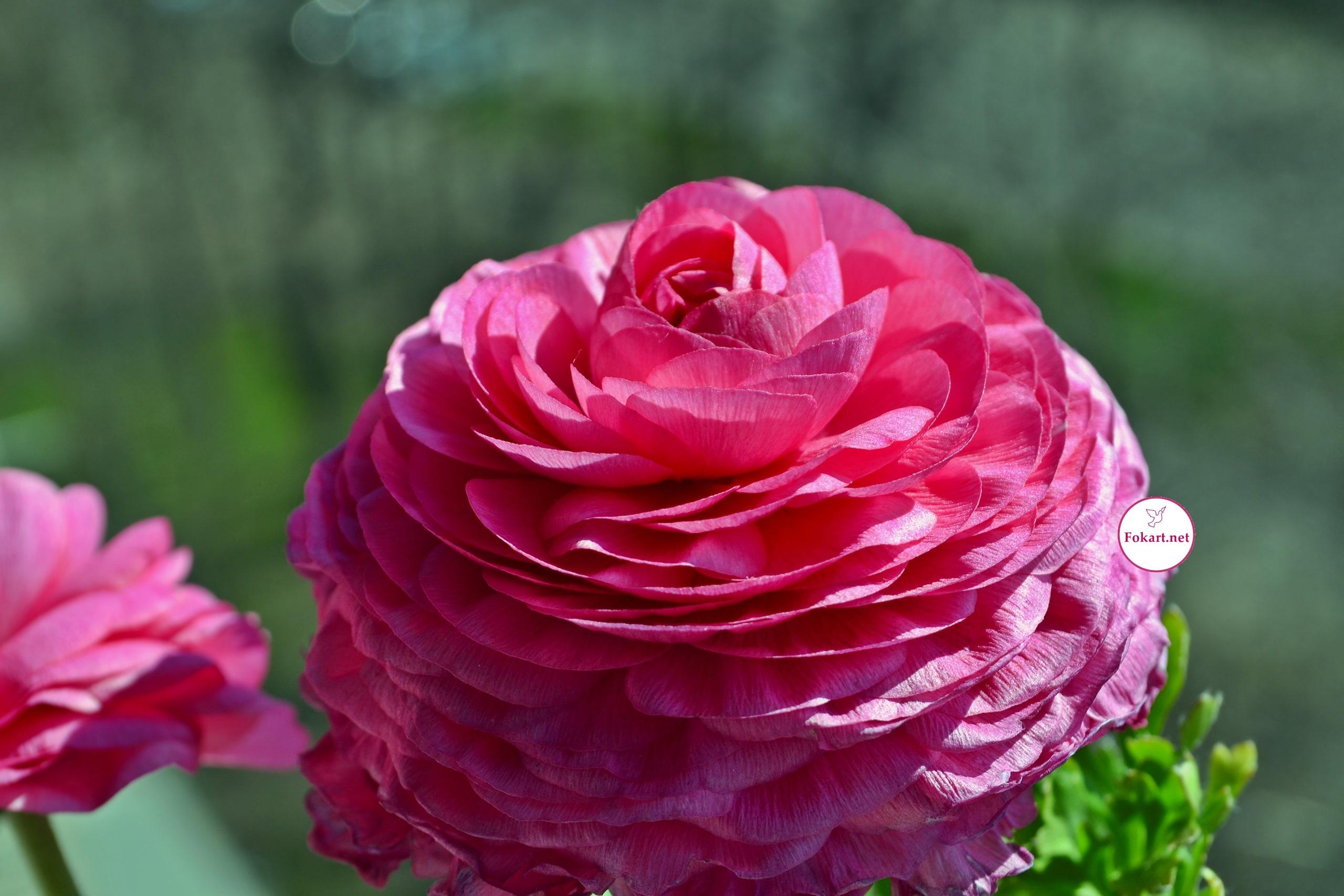 Розовый лютик азиатский (Ranunculus asiaticus)