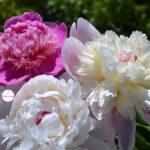 Три пиона — розовый, белый и бело-розовый