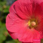 Тёмно-розовый, почти алый цветок мальвы, или штокрозы розовой