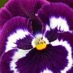 Виола, фиолетовая с белым и бордовым, фото