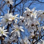 Цветущая магнолия звёздчатая (Magnolia stellata)