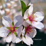 Крупные цветки миндаля вблизи
