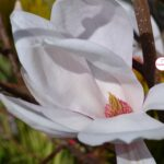 Цветок магнолии звёздчатой (Magnolia stellata)
