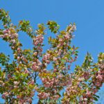 Цветущие ветки сливы мелкопильчатой Канзан