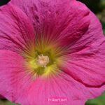 Ярко-розовый цветок мальвы на весь экран