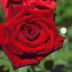 Красивая бордовая роза с плотными лепестками